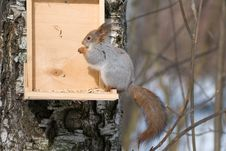 Free Squirrel Eating Nut Royalty Free Stock Images - 18883499