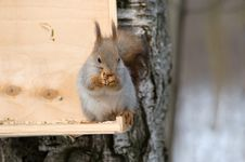 Free Squirrel Eating Nut Stock Images - 18883594