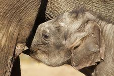 Free Baby Elephant Drinking Stock Photo - 18884930