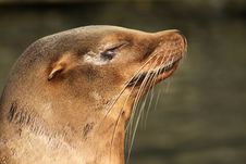 Sea Lion With Its Eyes Closed Royalty Free Stock Photos