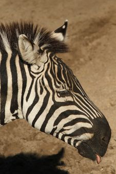 Free Zebra Sticking Out Its Tongue Stock Photography - 18885272