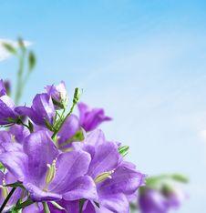 Free Flowers Campanula Royalty Free Stock Photo - 18885905