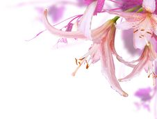 Free Pink Flowers Stock Photo - 18886080