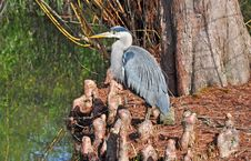 Free Blue Heron Stock Photography - 18889532