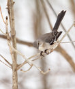 Free Northern Mockingbird, Mimus Polyglottos Royalty Free Stock Photo - 18894845