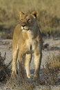 Free Female Lion Stock Image - 18898901