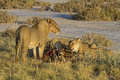 Free Lions Eating On A Zebra Carcass Royalty Free Stock Photo - 18899425