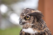 Free Great Horned Owl In Profile Royalty Free Stock Photo - 18891145