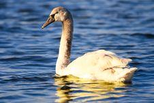 Wild Swan On Sea Waves