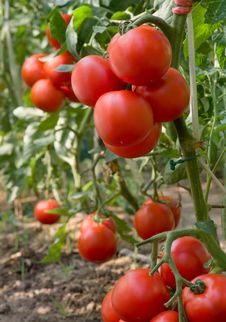 Free Tomato Royalty Free Stock Photos - 18892338