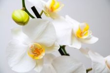 Free Orchid Stock Photography - 18892752