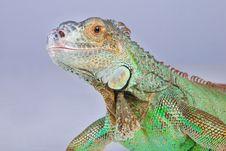 Iguana On Blue Royalty Free Stock Photography