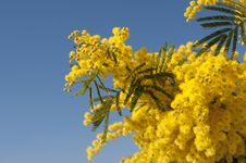 Free Mimosa In The Sky Stock Image - 18894201