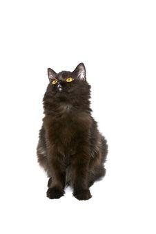 Free Black Persian Cat Stock Image - 18895531