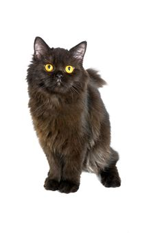 Free Black Persian Cat Stock Photography - 18895542