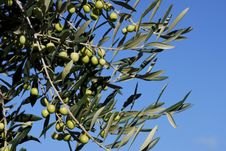 Free Olive Tree Branch Royalty Free Stock Images - 18896539