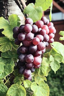 Free Red Grape Stock Images - 18896714