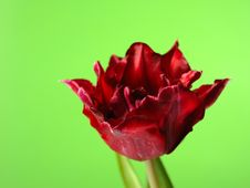 Free Beautiful Red Tulip Flower Over Green Background Royalty Free Stock Image - 18896776