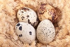 Free Quail Eggs In A Nest Stock Image - 18896831