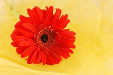 Orange Daisy Royalty Free Stock Photography