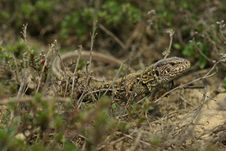Free Lizard In The Grass Royalty Free Stock Photo - 18898275