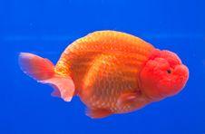 Freedom Of Orange Goldfish Stock Photos