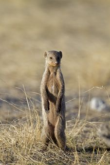 Free Banded Mongoose Royalty Free Stock Photo - 18898615