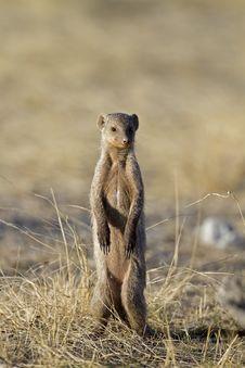 Free Banded Mongoose Royalty Free Stock Photo - 18898615