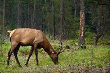 Young Male Elk Stock Photo