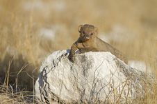 Free Immature Banded Mongoose Royalty Free Stock Image - 18898706