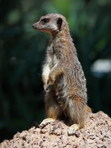 Free Meerkat Royalty Free Stock Photos - 18899028