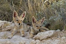 Free Two Immature Black-backed Jackal Stock Photos - 18899033