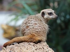 Free The Beauty Meerkat (Suricata Suricatta) Stock Photography - 18899042
