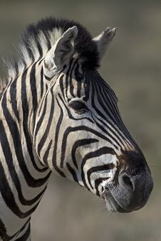 Free Portrait Of Burchells Zebra Stock Photo - 18899490