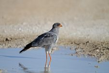 Free Southern Pale Chanting Goshawk Royalty Free Stock Photography - 18899747