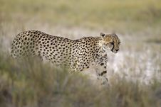 Free Cheetah Walking In Grassland Royalty Free Stock Images - 18899849