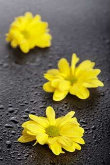 Three Yellow Daisies With Water Drops Stock Photo