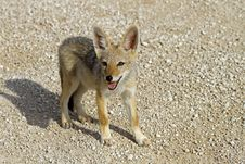 Free Close-up Of Black-backed Jackal Baby Royalty Free Stock Photos - 18899888