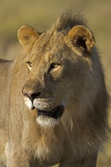 Free Close-up Portrait Of Young Male Lion Royalty Free Stock Images - 18899939