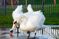 Free Two Swans Stock Images - 1890244