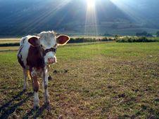 Free Cow Stock Photos - 1890023