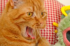 Free Cat Yawning Royalty Free Stock Image - 1890336