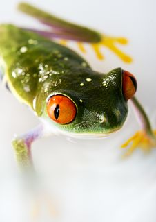 Free Red Eyed Tree Frog Royalty Free Stock Photo - 1890415