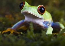 Free Tree Frog Stock Images - 1890544