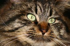 Free Cat Eyes Royalty Free Stock Image - 1891046