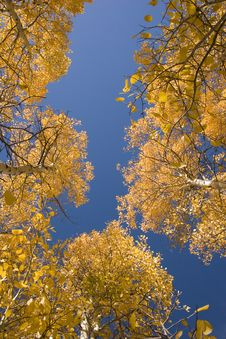Free Aspen Trees In Autumn Royalty Free Stock Photo - 1894955