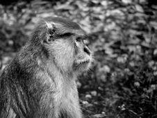 Free Sad Monkey Royalty Free Stock Images - 1895109