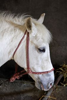 Free White Horse In Stable Royalty Free Stock Photography - 1895927