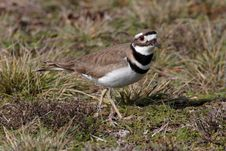 Free Killdeer Stock Photo - 1896640