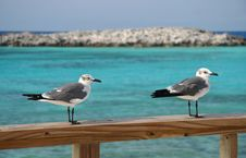Free Seagulls Royalty Free Stock Images - 1896809